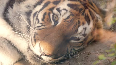 bengaalse tijger : The face of a tiger close up. Stockvideo