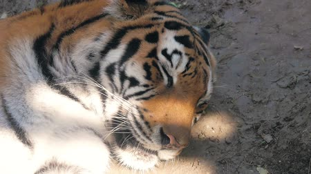 cubs : The face of a tiger close up. Stock Footage