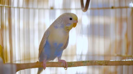 spící : Budgerigar close up in the bird cage. Budgie. Funny budgerigar in a cage at the window. Green blue budgie in bird cage. Homes pet. 4K