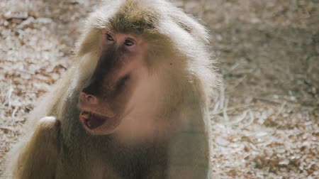 baboon : Hamadryas baboon intimidating other male with his big mouth wide open. Monkey open mouth.
