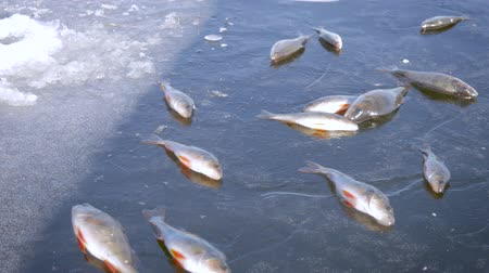 szczupak : Winter Ice fishing concept. Perch fish lies on frozen lake ice.