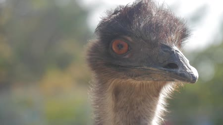 pštros : Face of an ostrich bird up close. Close up ostrich head (Struthio camelus).