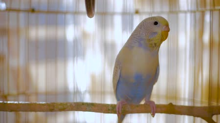 cativeiro : Budgerigar close up in the bird cage. Budgie. Funny budgerigar in a cage at the window. Green blue budgie in bird cage. Homes pet. 4K