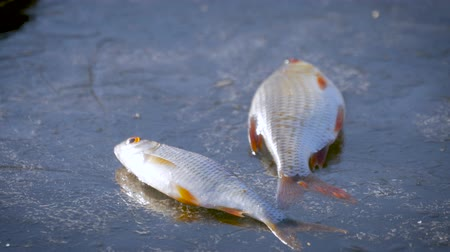 hegycsúcs : Winter Ice fishing concept. Perch fish lies on frozen lake ice.