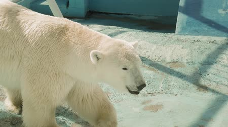 arctic tundra : Male polar bear (Ursus maritimus) in the zoo.
