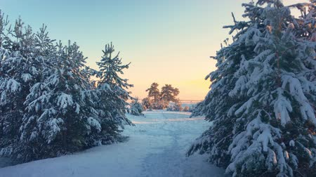 szron : Pine trees covered with snow on frosty day. Fantastic winter landscape. Sun in the wood between the trees strains in winter period. Christmas background with snowy fir trees.