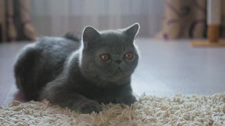 мурлыкать : Grey shorthair cat on a grey floor.