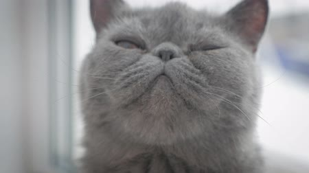 мурлыкать : Grey shorthair cat on a grey close up.