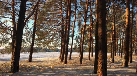 período : Pine trees covered with snow on frosty day. Fantastic winter landscape. Sun in the wood between the trees strains in winter period. Christmas background with snowy fir trees.