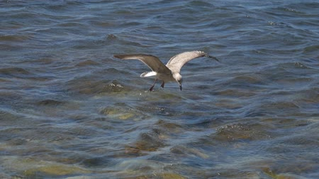 flying sea gull : Seagull in flight above the water. Stock Footage