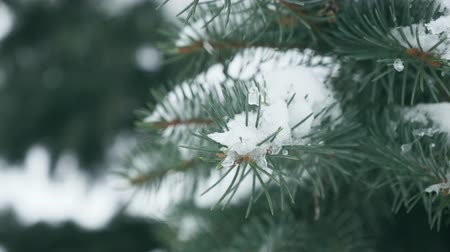 doğa arka plan : Winter pine branch, snowflakes on a branch, spruce leaves with water drops close-up. Beautiful natural view with the drifts of snow on the branches of spruce and sun in the winter forest at sunset.