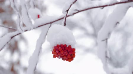 ягода : Red rowan berries covered by snow at winter cold day. Winter landscape with snow-covered mountain ash.