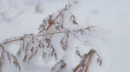 ladin : Snow-covered tree branch in winter forest, static video. Stok Video
