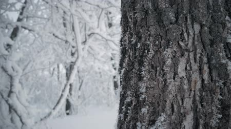 snow covered spruce : Snow-covered tree branch in winter forest, static video. Stock Footage
