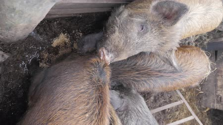 piglet : Wild boars on the animal farm. Large wild boar female. Stock Footage