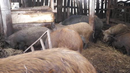 子豚 : Wild boars on the animal farm. Large wild boar female. 動画素材