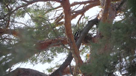 picidae : Woodpecker on the trunk of a pine.