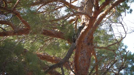 pinus : Woodpecker on the trunk of a pine.