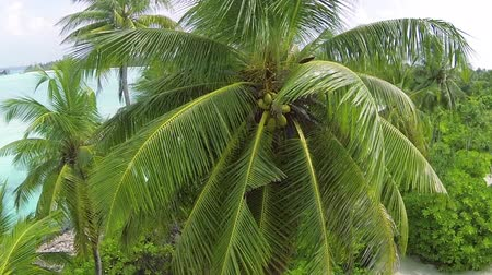 coconut palm tree : Coconut palm tree.