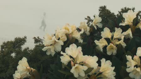 laur : Flowers in the foggy mountains.