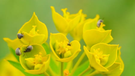 faceted : Insect pests eat wild flowers  (macro)