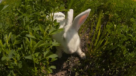 Пенсильвания : rabbit runs across the field and eating grass Стоковые видеозаписи