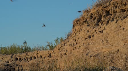 nyel : The nests of swallows in a sand quarry Stock mozgókép
