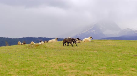 koyun : Panorama of the  pastures in the Montenegro, sheep graze (alps)