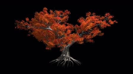 savana : Japanese Maple tree in the wind Format MOV, codec png with alpha channel