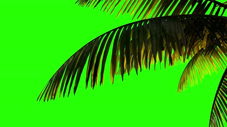 отель : Animation palm branch and leaves in the wind on a green background. Keying, green background alpha channel