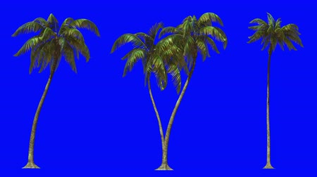 png : 3d animation for keying, three palm trees on a blue chromakey