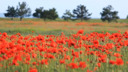 haşhaş : poppy field in summer, close-up