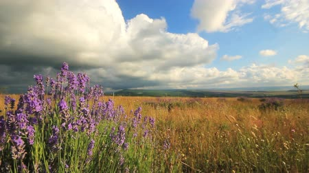 levandule : purple lavender flowers in summer, blown by wind