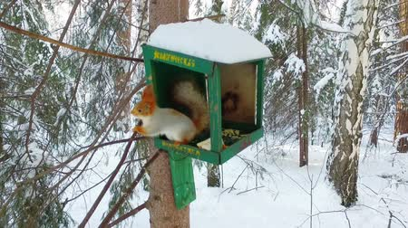 squirel : Red squirrel on a tree in the bird feeder, slow motion video