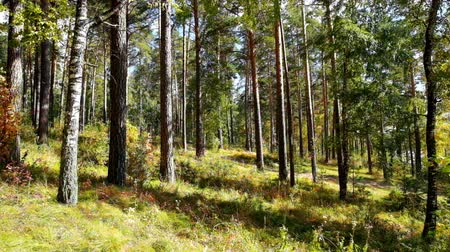 autumn : Autumn in russian siberian pine forest