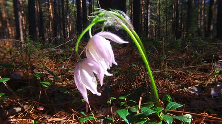 pasque : Purple Pasque-flowers in the pine forest at Spring time