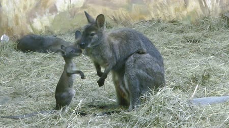 wallaby : Young kangaroo baby playing with mother in zoo