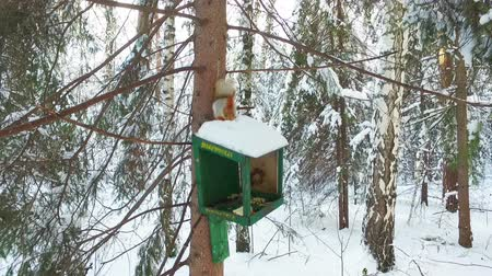 squirel : Red squirrel on a tree in the bird feeder
