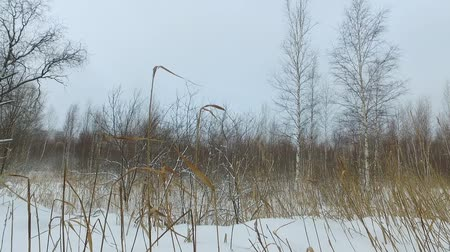 boggy : Winter bog landscape with dry reed on foreground at snowy dull cloudy day