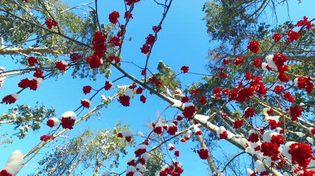 sorbus : Rowanberry  in winter. Looking up through the rowan-tree branches and red  berries clusters with snow caps at the blue sky