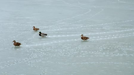 frazil ice : Group of ducks walking on new thin ice at early winter season Stock Footage