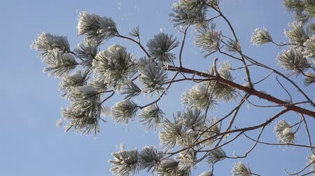 szron : Pine brunch covered by hoarfrost and snow on blue sky background. Siberia, Russia Wideo
