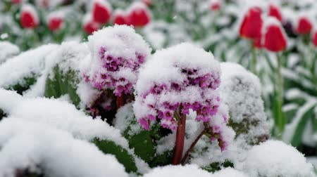 badan : Badan Mongolian tea or in latin Bergenia, crassifolia flowers under the snow in late Spring snowfall in Siberia. Novosibirsk, Russia