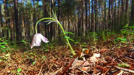 pasque : Motion video of spring-flowering pasque Pulsatilla flowers in the pine forest at Spring time