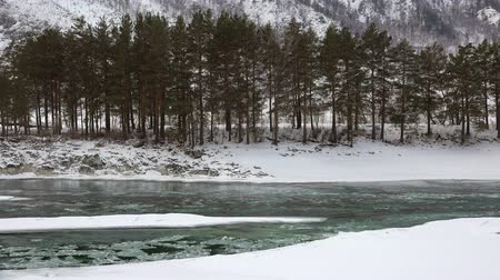 frazil ice : Floating of ice and sludge in water under bank with pine forest near Altai river Katun in winter season, Siberia, Russia Stock Footage