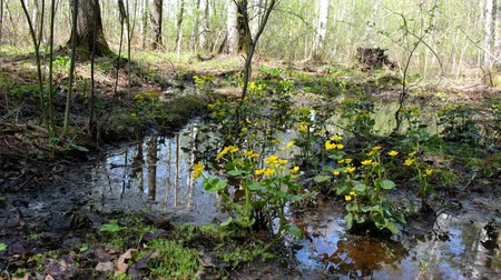boggy : Caltha palustris or marsh-marigold in a boggy forest environment