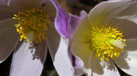 pasque : Close-up video of spring-flowering pasque Pulsatilla flowers in the pine forest at spring time