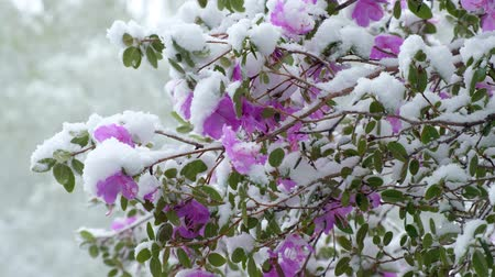 cor de malva : Rhododendron dauricum flowers under the snow in the late Spring snowfall in Siberia. Novosibirsk, Russia