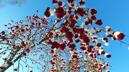 sorbus : Rowanberry in winter. Looking up through the rowan-tree branches and red berries clusters with snow caps at the blue sky Stock Footage