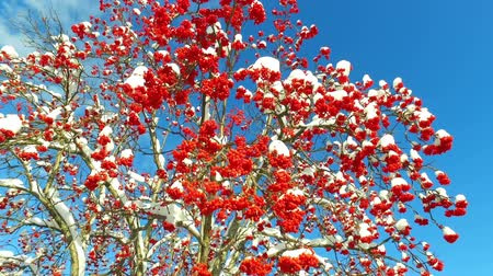 sorbus : Rowanberry in winter. Looking up through the rowan-tree branches and red berries clusters with snow caps at the sky with clouds